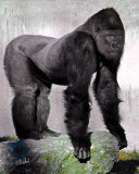 Pin Up Gorilla
