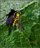 Teeny Fly