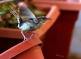 Upset Song Bird