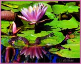 On the Lily Pond