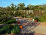 Pumpkins Past the Grape Arbor