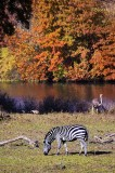 Zebra in Autumn