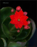 Red Kalanchoe