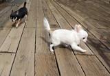 Chihuahua Zoomies