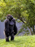 Man in a Gorilla Suit???