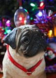 Pug Under the Tree