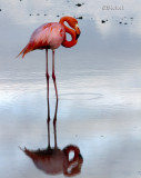 Flamingo in the Wild
