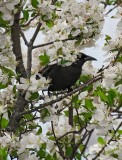 Black Bird in Crab Apples