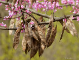 Red Bud Seed Pods