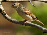 Common House Sparrow