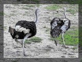 Ostrich Chases Emu