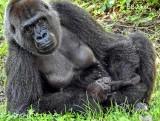 Mama Silver Back Gorilla