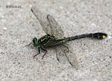 Cobra Clubtail Dragonfly