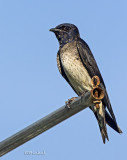 Purple Martin Female