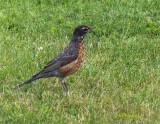 Alaskan Robin