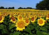 Grinter Sunflower Field