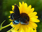 Red-spotted Purple Brush Foot