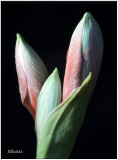 Amarylis Buds