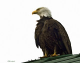 Eagle on the Roof