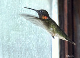 Hummingbird in the House