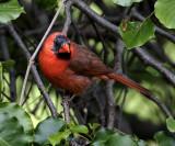 Daddy Cardinal