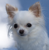 Portrait of a Long Coat Chihuahua