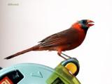 Strange Cardinal