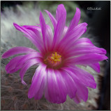 Two Cactus Flowers: One Day