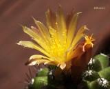 Copiapoa Humilis