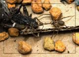 Brown Recluse Spider vs Cricket