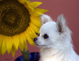 Bailey &  the Sunflower