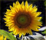 Kansas Sunshine