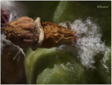 Mammilliaria Bucareliensis