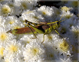Grasshoppers Poop Green