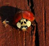 Male, Spotless Lady Bug