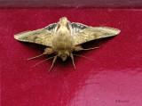 Dusky Winged Butterfly