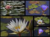 The Beautiful Lotus.jpg