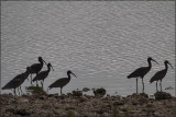 Glossy Ibis Silouettes.jpg