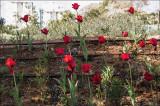 Tulips in Natanya.jpg