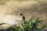 My morning  visitor the Bulbil.jpg