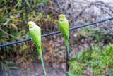 Green Parrots return