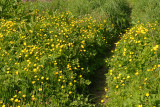 Buttercup path.
