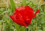 Ornamental Poppy in the gardens