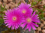 Mesembryanthemums - or Livingston Daisy