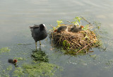 A Coots nest and chicks.