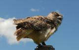 Eagle Owl at Thorpe Perrow.