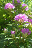 Wild Rhododendrons.