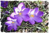 Crocus in the sun.