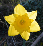 Glowing Daffodil.