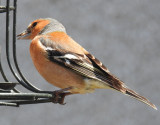 Chaffinch on the feeder.